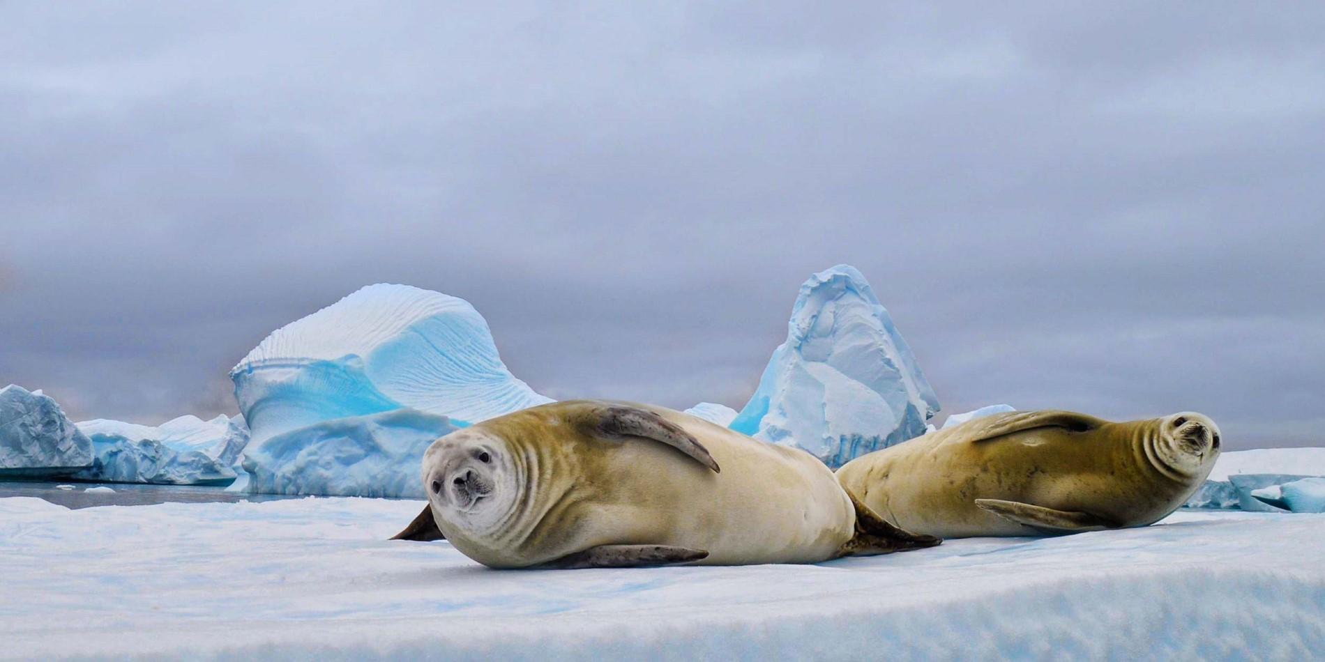 Super Robben, Wale, Pinguine - die Tiere der Antarktis   Hurtigruten #PB_65